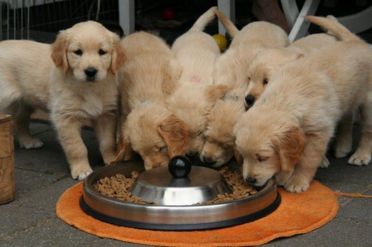 Suha pasja hrana